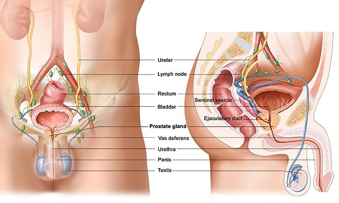 Prostat, Prostat Kanseri ve Prostat Anatomisi